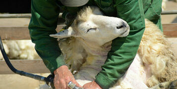 The Tradition of Sheep Shearing