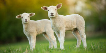 How to Prepare for Lambing Season