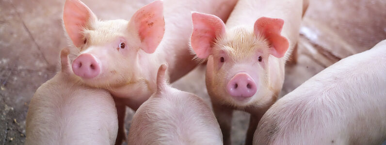 A Guide to Keeping Pigs